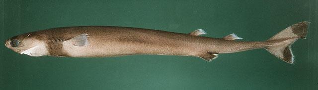 Tiburón cigarro