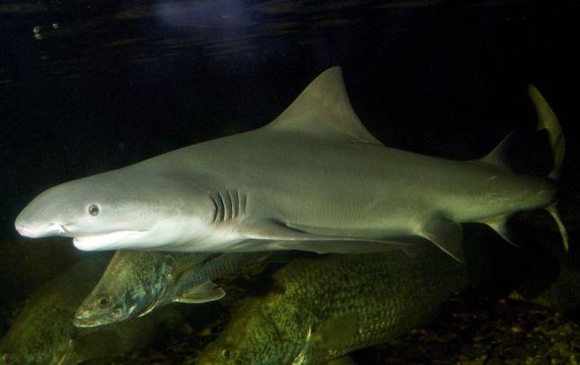 Tiburón lanza