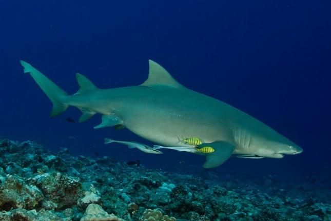 Tiburón segador