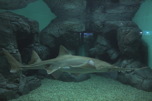 Tiburón sierra