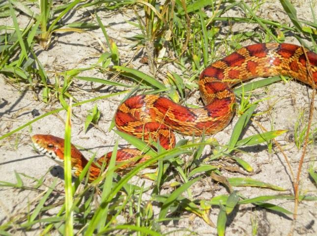 Serpiente del maiz