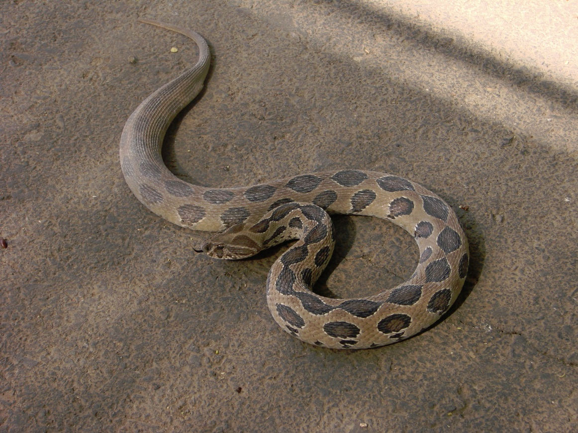 Rep liz2 additionally West African Carpet Viper together with Fusebox cfm together with 03 also Dangerous Animals Asia. on ocellated carpet viper