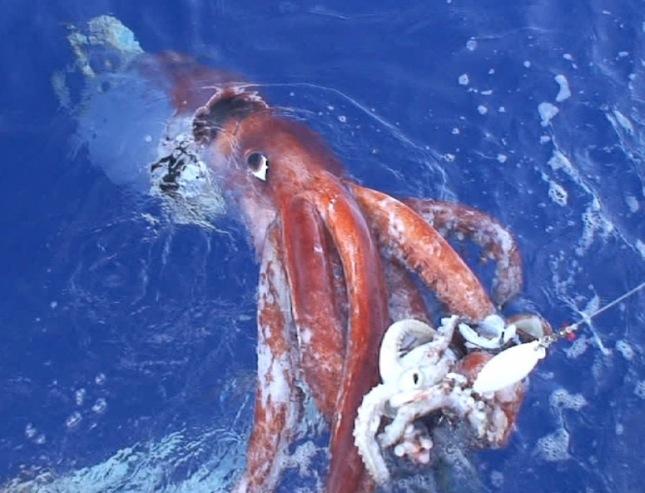 Calamar Gigante2