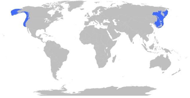 Distribución Pulpo Gigante