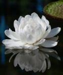 Nymphaea amazonica