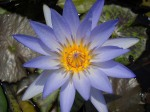 Nymphaea Blue Beauty
