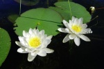 Nymphaea candida