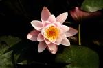 Nymphaea lotus var. thermalis