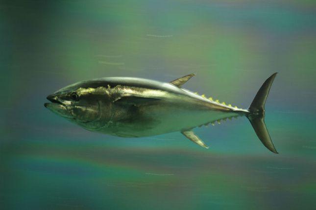Atún de Aleta Azul del Pacífico