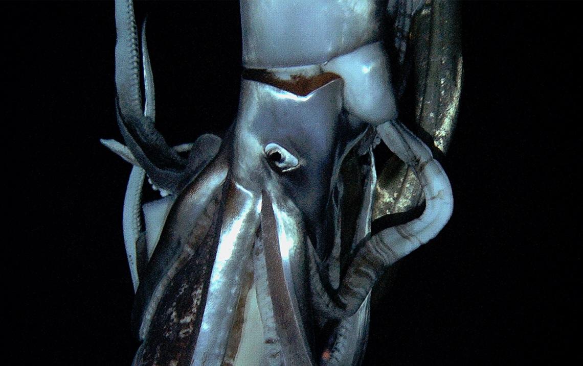 Calamar Colosal & Calamar Gigante   La Exuberancia de Hades