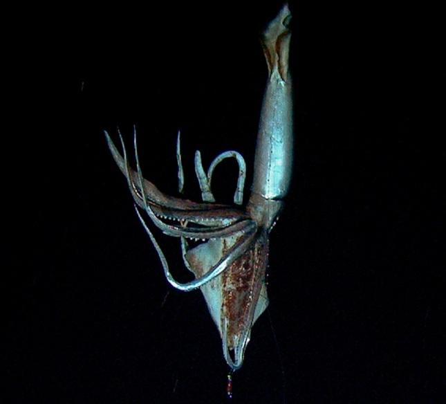 Calamar gigante4