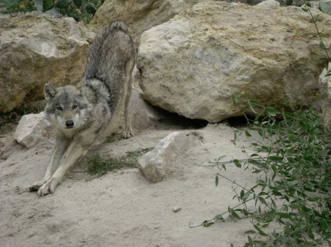 Lobo Árabe
