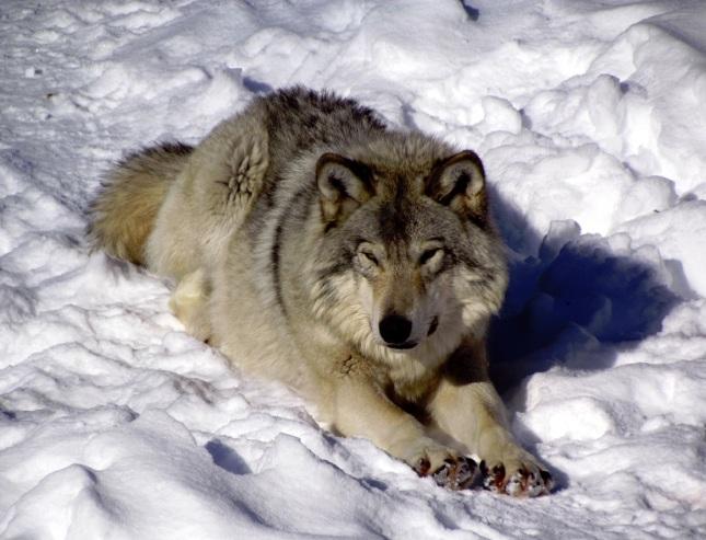 Lobo de Bosque Oriental
