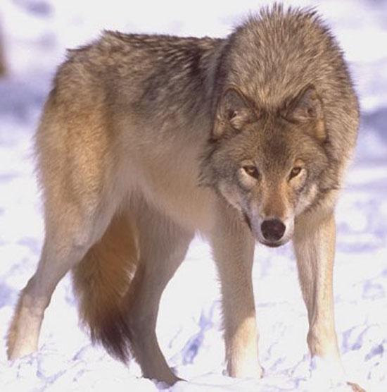 Lobo de la Estepa