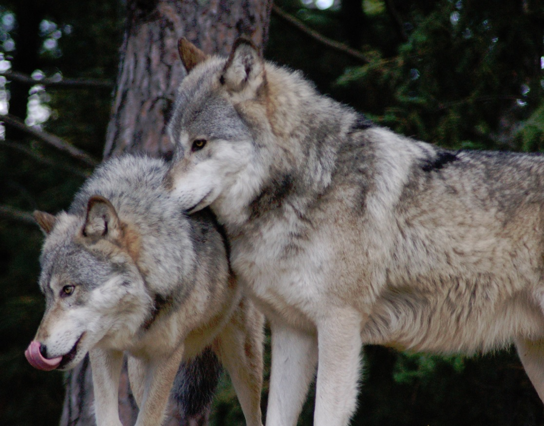 Lobos Perros Siluetas Mamíferos: La Exuberancia De Hades