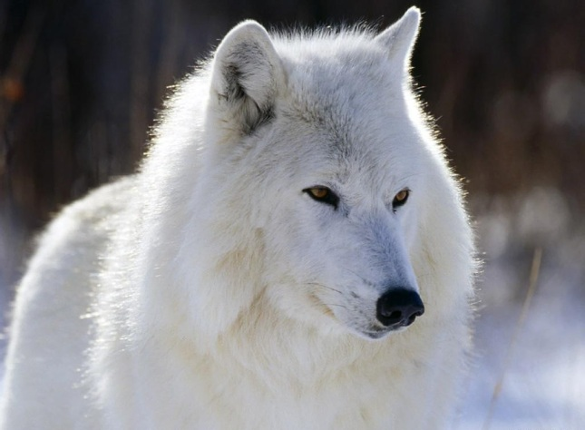 Lobo de Tundra