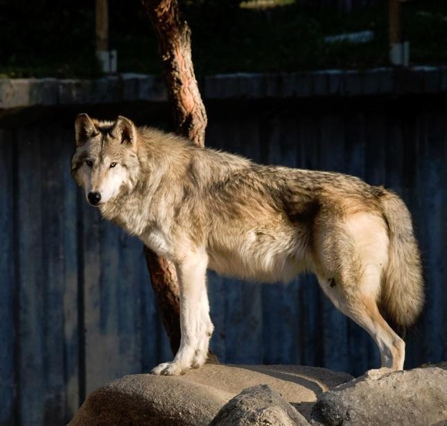 Lobo del Valle de Mackenzie