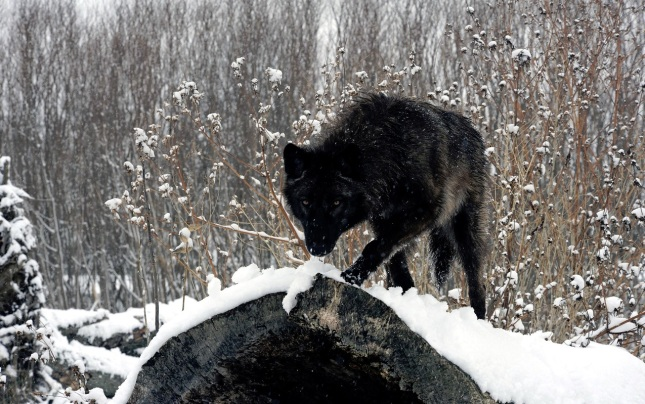 Lobo del Yukón