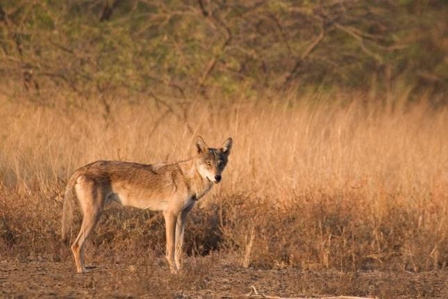 Lobo Indio