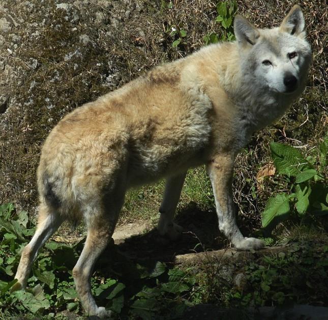 Lobo Tibetano