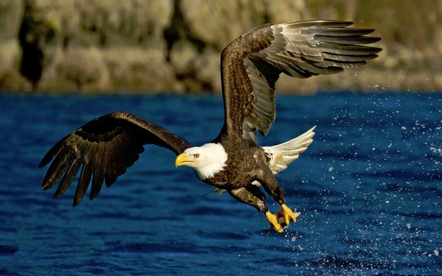 Águila calva2