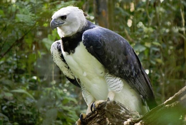 Águila harpía1