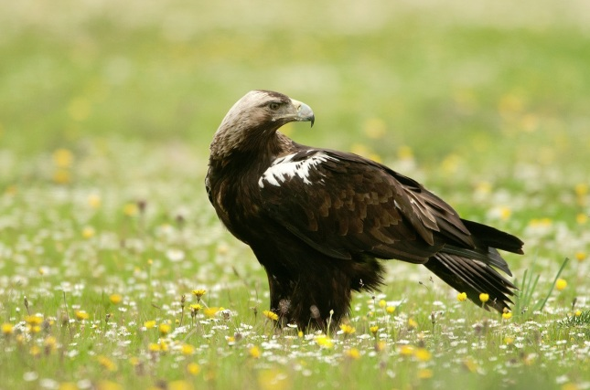 Águila imperial ibérica1