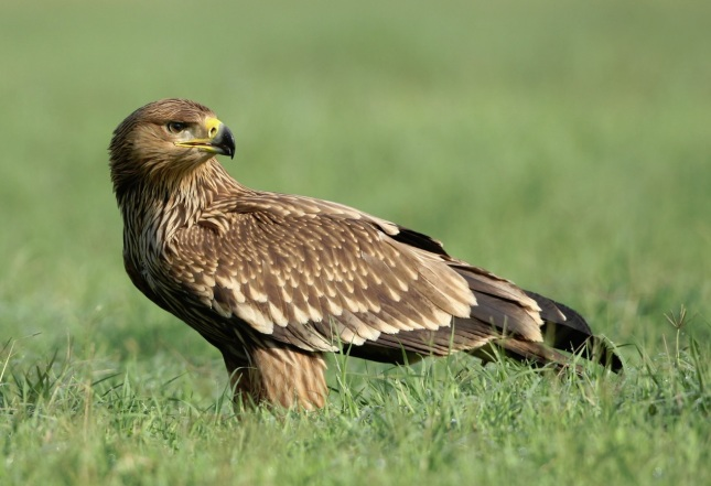 Águila imperial oriental1