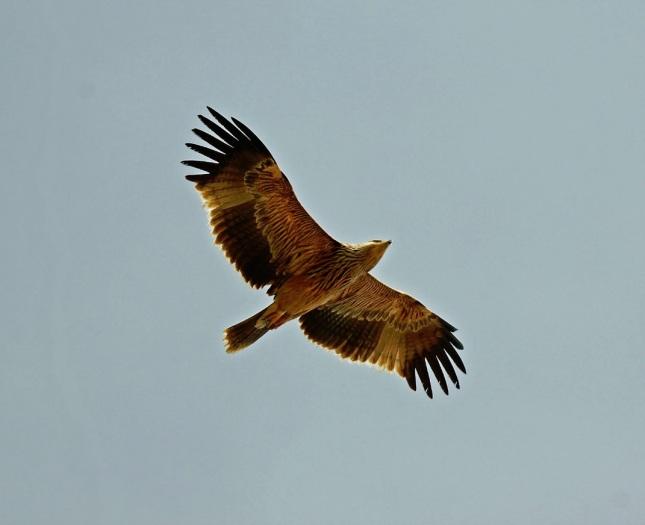 Águila imperial oriental2