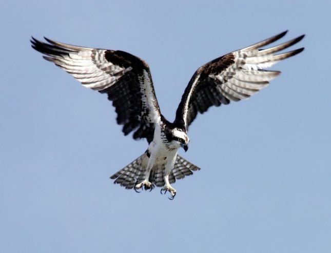 Águila pescadora2