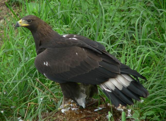 Águila real1