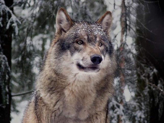 Lobo europeo