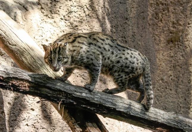 Gato Pescador