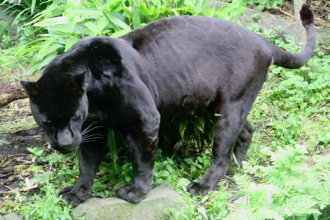Pantera Jaguar