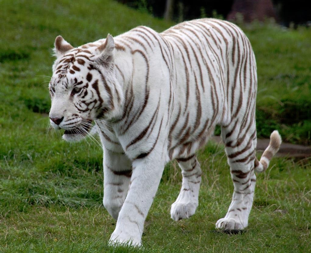 leon y tigre blanco - photo #23