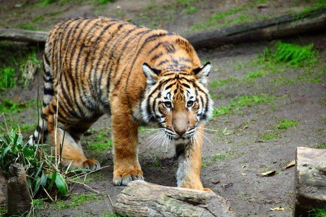 Tigre de Malasia