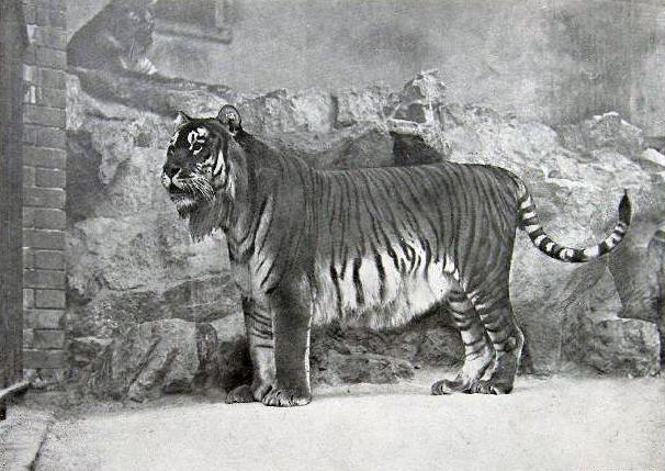 Tigre del Caspio