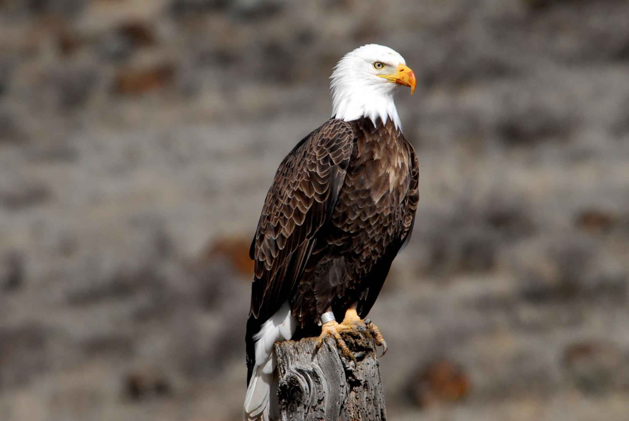 Caguila Calva