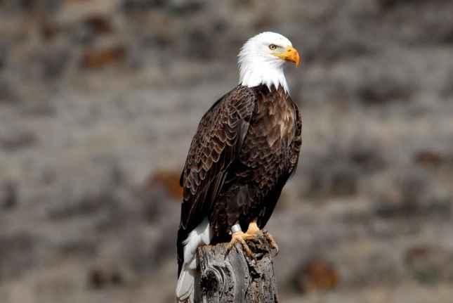 Águila calva1