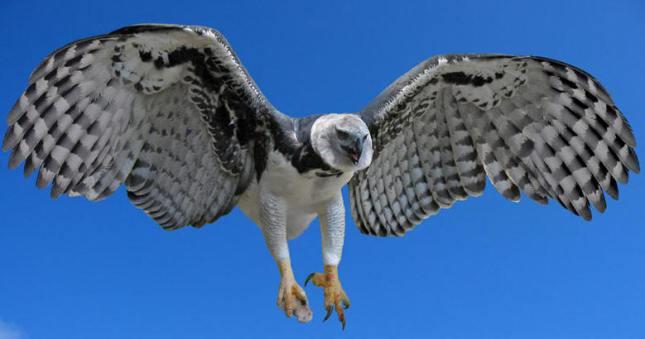 Águila harpía2