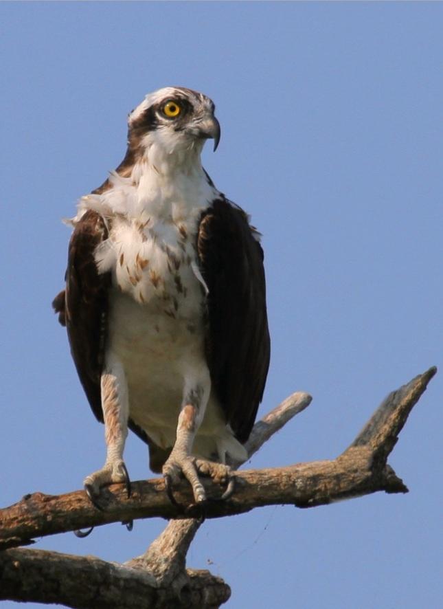 Águila pescadora1