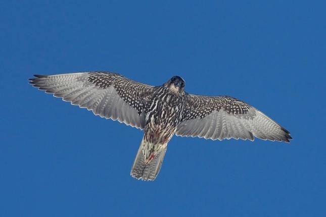 Tunturihaukka 0150 (Falco rusticolus) Gyrfalcon Varanger Norway April 2009