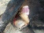 Mutilación de ganado2