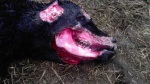 Mutilación de ganado3