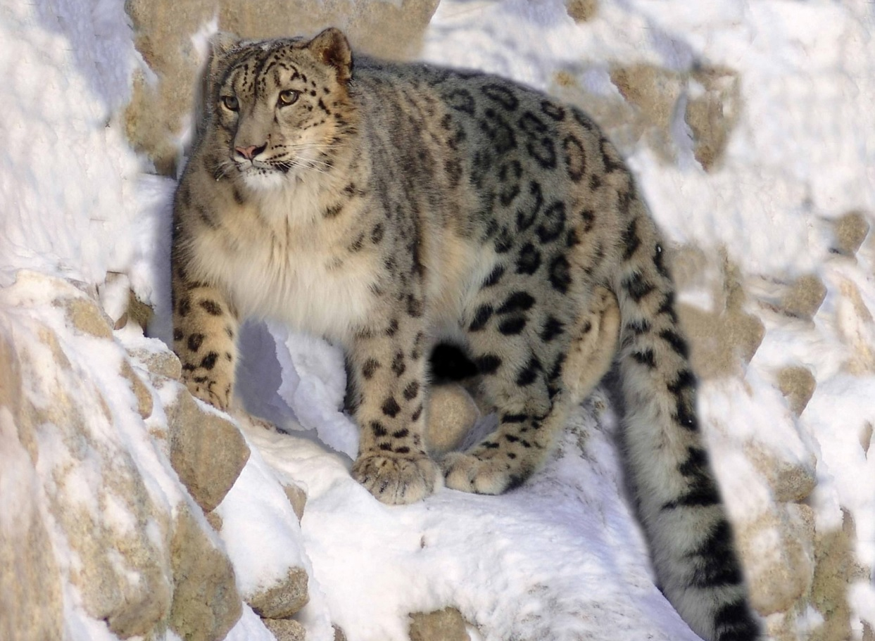 Contemporáneo Leopardo De Las Nieves Anatomía Componente - Imágenes ...