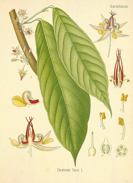 Cacao1