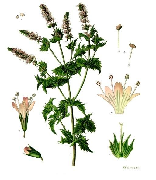 gota tratamiento medicina natural que planta es buena para eliminar el acido urico el cloruro de magnesio sirve para eliminar el acido urico