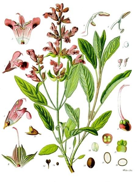 Salvia Europea1