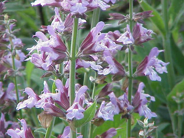 Salvia Europea2