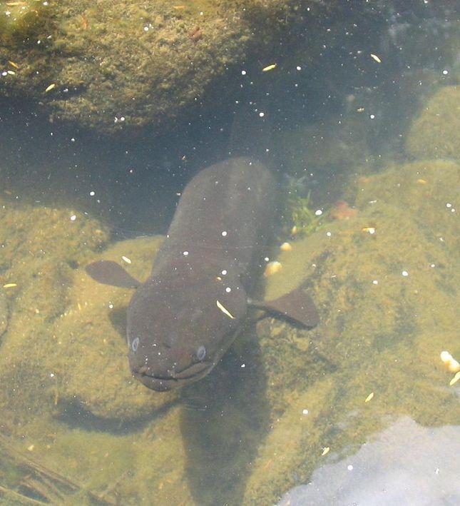 Anguila de Nueva Zelanda